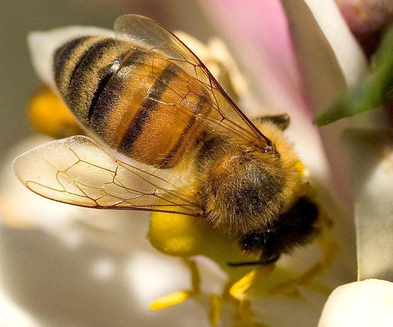 Bees-wings.web