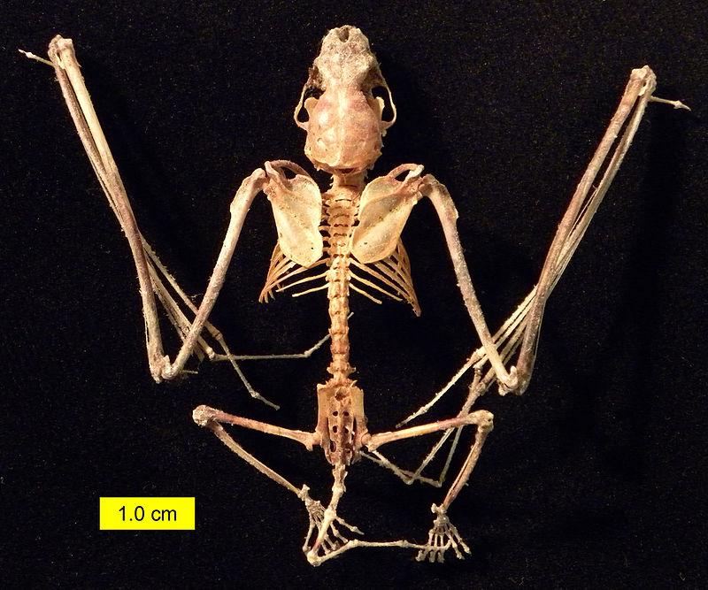 800px-Eptesicus_fuscus_skeleton