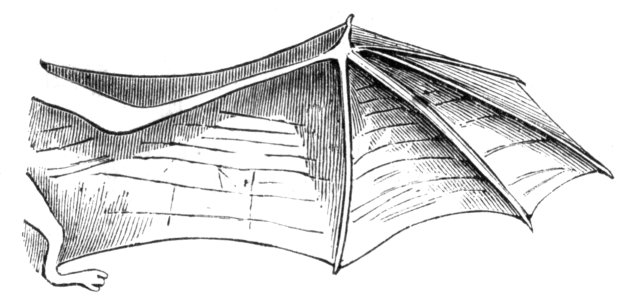Fledermaus_rechter_Fluegel-drawing